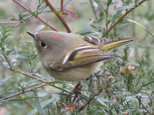 Ruby-crowned Kinglet (Photo: Ken Sproule)