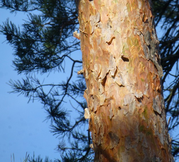 Scot's Pine (Pinus sylvestris)