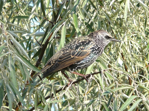 European Starling (photo: Ken Sproule)