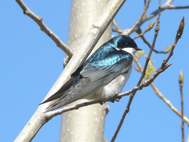 Tree Swallow (photo: ken Sproule)