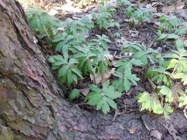 Virginia Waterleaf (Hydrophyllum virginianum)