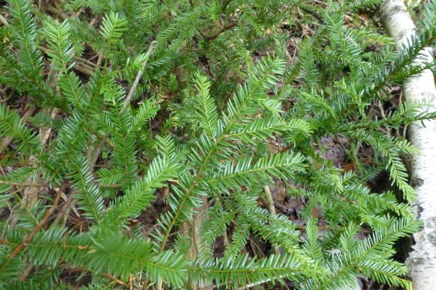 American Yew (Taxus canadensis)