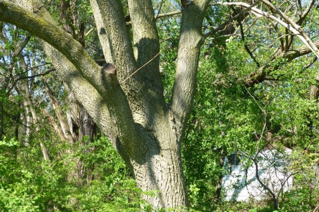 Amur Cork Tree (Phellodendron amurense)
