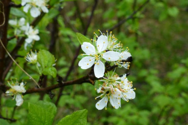 Apple flower (Malus)