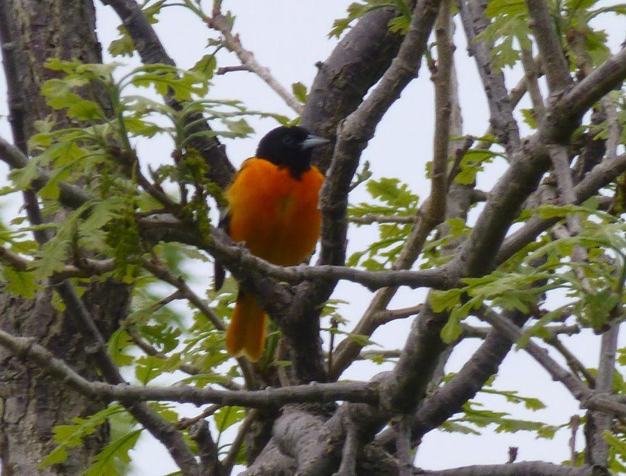 Bird Identification Quiz: #11 of 12 (answers)   Miles Hearn