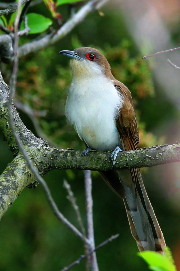 Black-billed Cuckoo (Wikimedia)