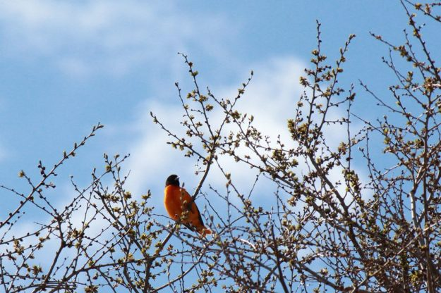 Baltimore Oriole High Park (photo: Judy-Ann Cazemier)