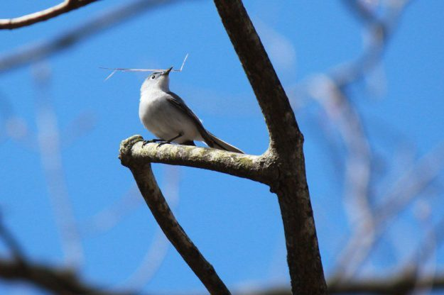 Blue-grey Gnatcatcher (photo: Judy-Ann Cazemier)