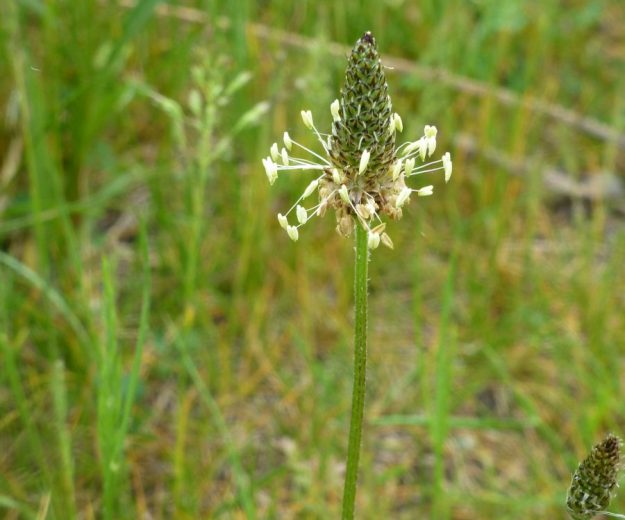 Buckhorn Plantain (Plantago lanceolata)