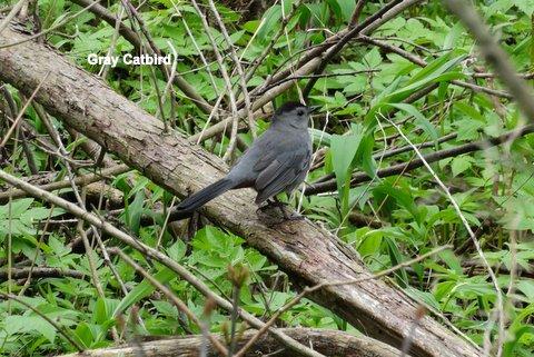 catbird-1