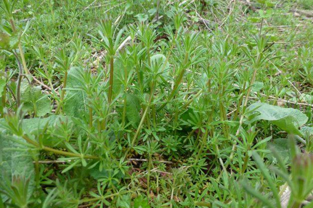 Cleavers (Galium aparine)