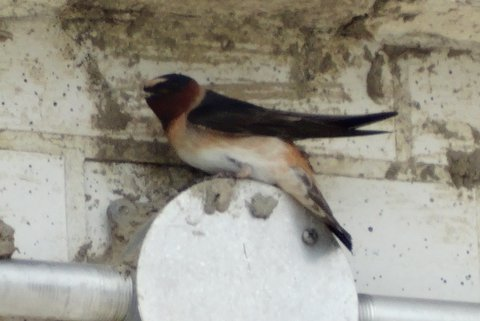 Cliff Swallow (photo: Heather Pantrey)