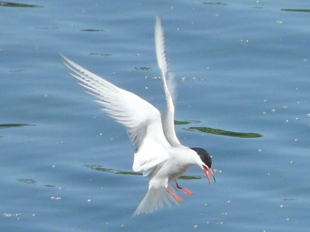 Common Tern (photo: Ken Sproule)
