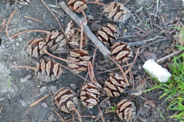 Dawn Redwood cones (Metasequoia glyptostroboides)