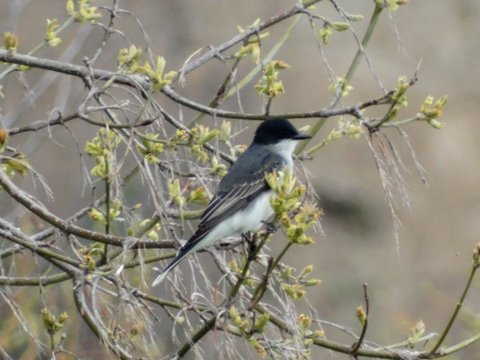 Eastern Kingbird (photo: Heather Pantrey)