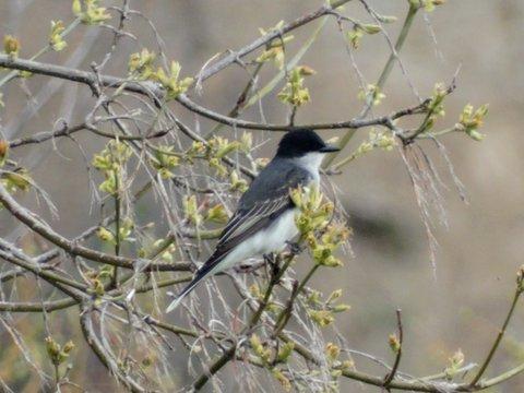 Eastern Kingbird (photo: Heather Pantrey)