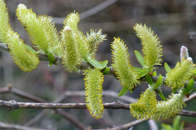 Eurasian Pussy Willow (Salix caprea)