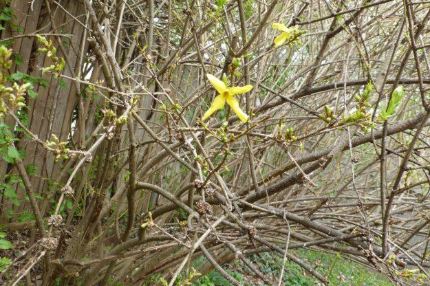 Forsythia (Forsythia intermedia)