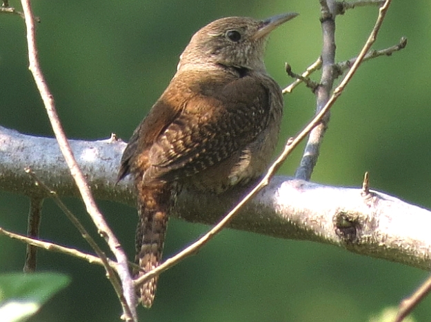 House Wren (photo: Ken Sproule)