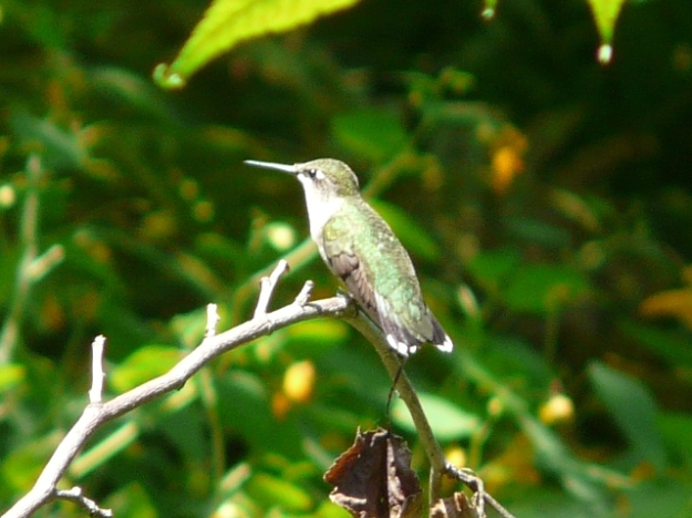 Ruby-throated Hummingbird (female) photo: Ken Sproule