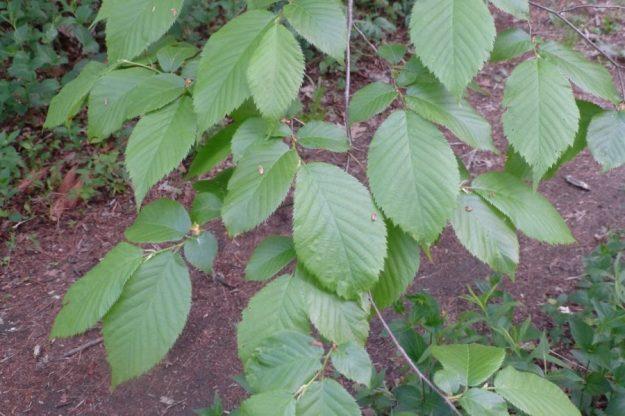 Ironwood (Ostrya virginiana)