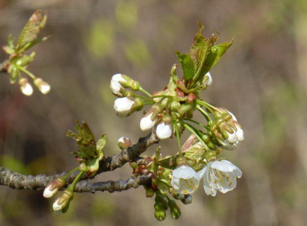 Japanese Flowering Cherry (Prunus serulata)