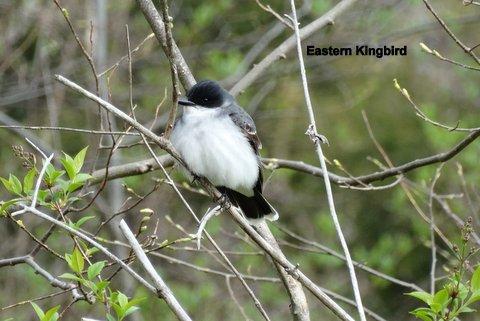 kingbird-1