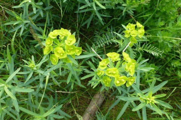 leafy-1