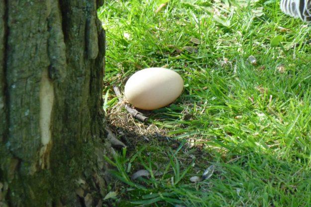 Mallard egg