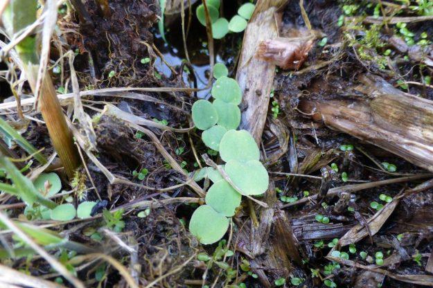 Moneywort (Lysimachia nummularia)