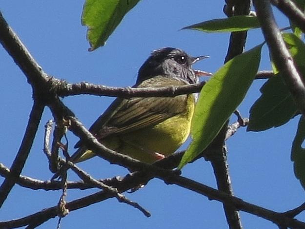 Mourning Warbler (Photo: Ken Sproule)