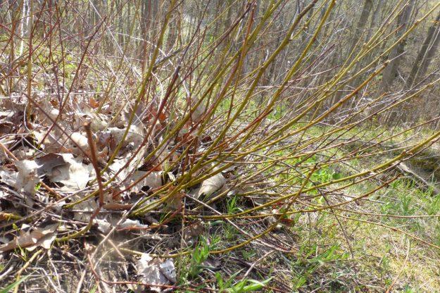 New Jersey Tea (Ceanthus americanus