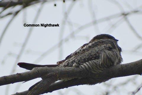 nighthawk-1