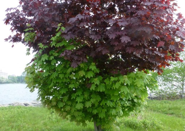 Norway Maple (Acer plantanoides) two leaf colours on same tree