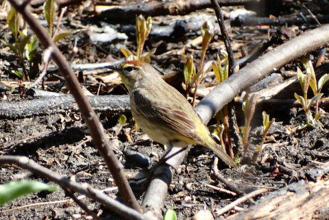 Palm Warbler (photo: Heather Pantrey)