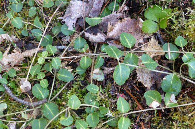 Partridgeberry (Mitchella repens)