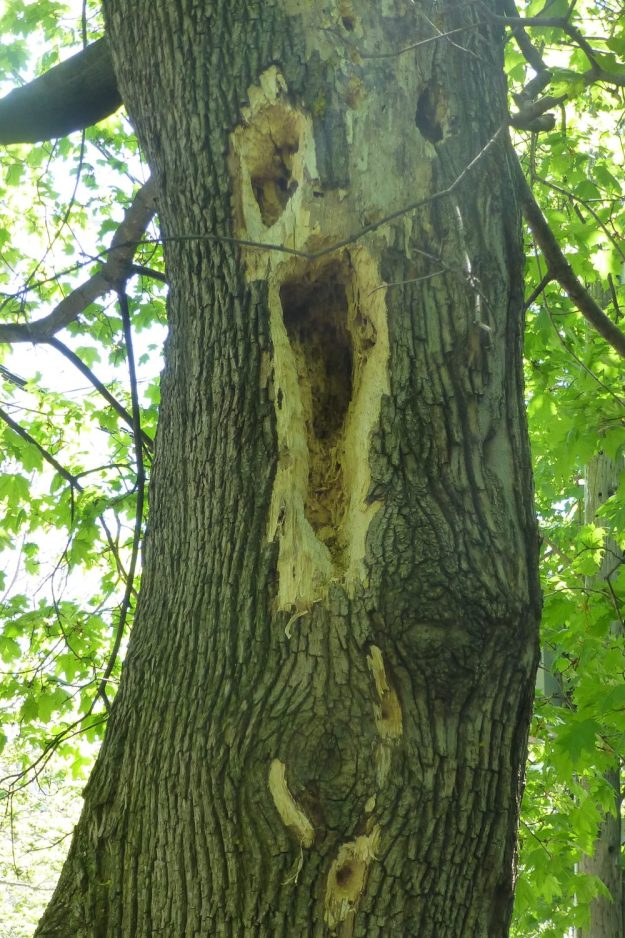 Pileated Woodpecker evidence