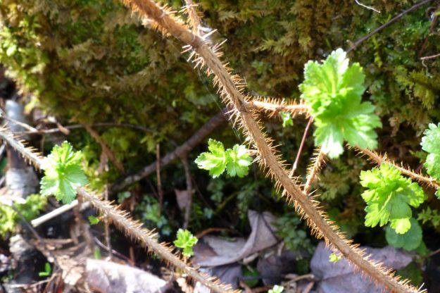 Prickly Gooseberry (Ribes cynosbati)