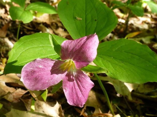 Purple trillium (Trillium erectum)