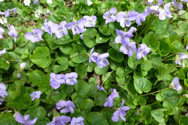 English Violet (blue) Viola odorata