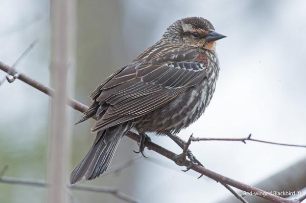 redwingedblackbirdfemale-1