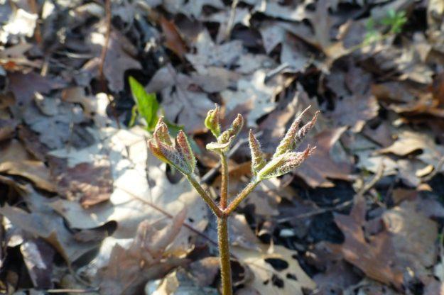 Sarsaparilla (Aralia nudicaulis)