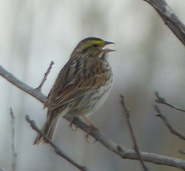 Savannah Sparrow (photo: John Burns)