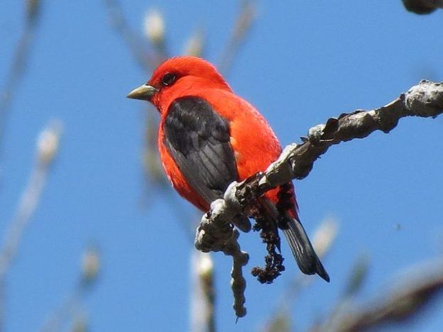 Scarlet Tanager (male) photo: Ken Sproule