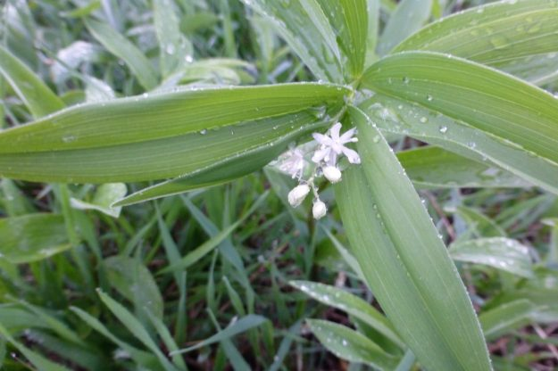 Star-flowered False Solomon-seal (Maianthemum stellatum)