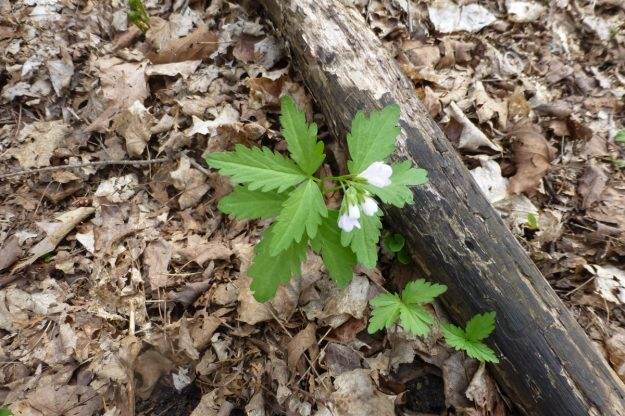 Two-leaved Toothwort (Cardamine diphylla)