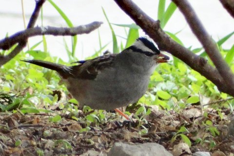 White-crowned Sparrow (photo: Heather Pantrey)