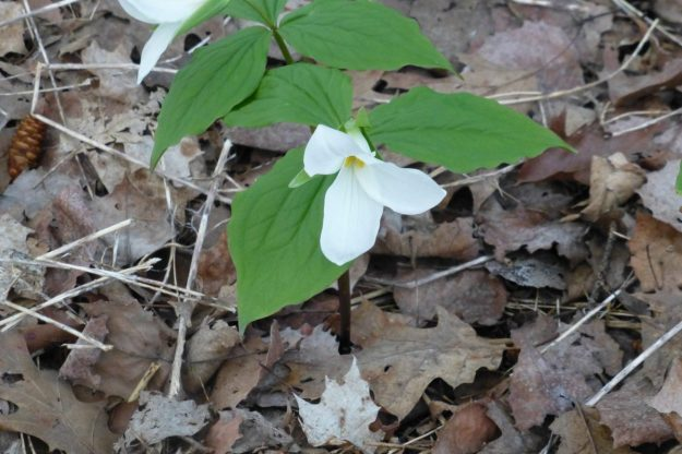 White trillium (Trillium grandiflorum)