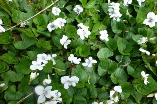 English Violet (white) Viola odorata