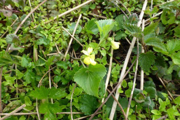 Yellow Violet (Violet pubescens)